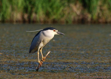 Starcul de noapte - Nycticorax nycticorax